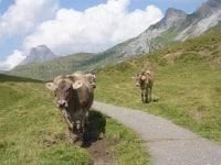 Kühe wandern