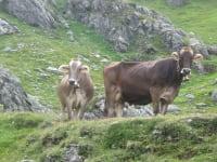 Unsere Kühe auf der Alm