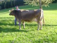 Unser Milchviehbetrieb besteht aus ca. 35 Stück Braunvieh