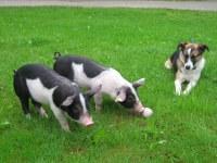 Unsere Schweine im Freien