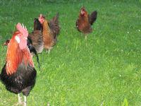 Altsteirer Hühner