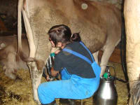 Stefanie on our alpine pasture milking, real farm holidays