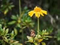 Arnika  Heilpflanze