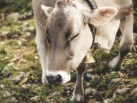 Kühe fressen beste Bergkräuter