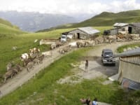 Cattle drive on the Ziller Valley mountain street