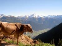 Kuh vor den Bergen