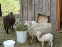 Unsere Schafe Heidi mit Rosili und Schafbock Peter