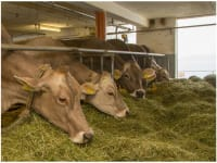 Kühe am Fressen