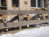 glückliche Kälber an der Wintersonne