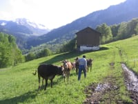 Die Rinder freuen sich ?ber Besuch in Ahornen.