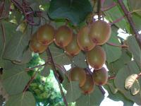 Kiwis in unserem Garten