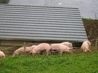 die Alpschweine fühlen sich