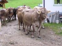 Kühe beim Eintreiben