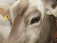 Bei uns haben alle Kühe einen Namen: Das ist Britta