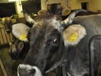behornte Grauvieh-Kühe