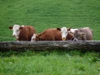 Kühe beim Wassertrog