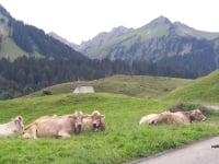 Kühe auf dem Vorsäß Schalzbach