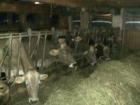 Kuh am fressen