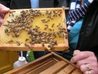 die Honigbienen