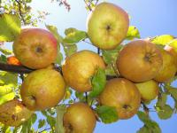 Äpfel direkt vom Baum