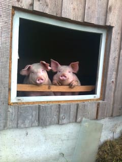 Unsere Schwein lieben auch unseren tollen Ausblick