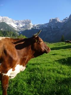 Wir züchten Pinzgauer Rinder