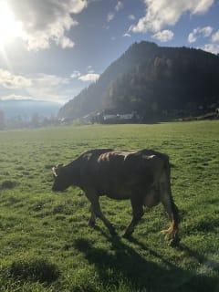 unsere Kühe genießen den täglichen Weidegang