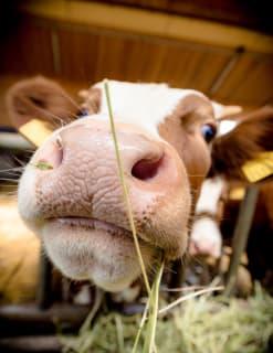 Auch unsere Kühe sind fotogen! Oder nur neugierig?