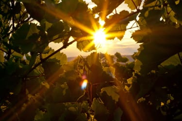 Sonnenaufgang Weingarten