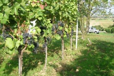 Eigener Weingarten beim Kellerstöckl