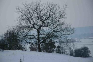 Kirschbaum im Schnee