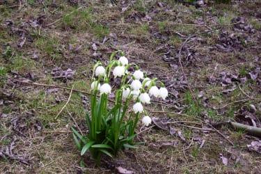 Die Frühlingsknotenblume