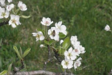 eine Birnenblüte