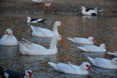 Gänse und Enten im Teich