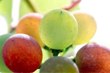 Reifephase Weinbeere