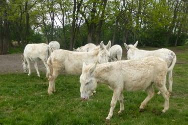Gruppe Weißer Esel