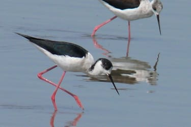 Wasservögel auf Futtersuche