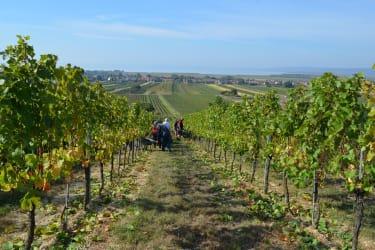 Mitarbeit im Weingarten
