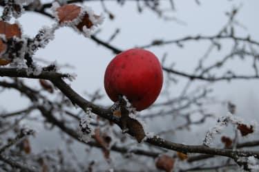 Apfelbaum im Schnee