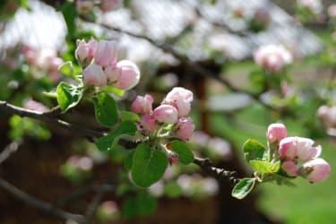 Malehof - Apfelblüten im Frühling