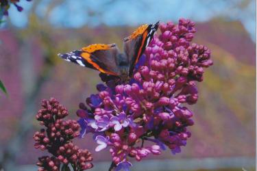 Malehof - Schmetterling im Garten