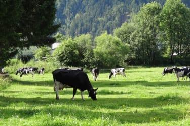 Kühe auf der Weide