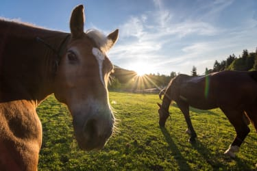 Unsere Pferde genießen den Sonnenuntergang