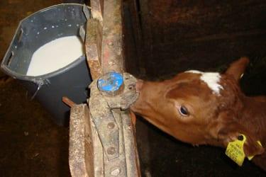 unser jüngstes Kälbchen ,,Milka