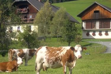 Unsere Kühe auf sattgrünen Wiesen