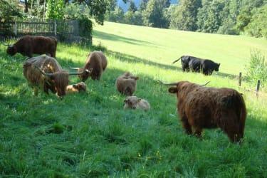 Schottische Hochlandrinder