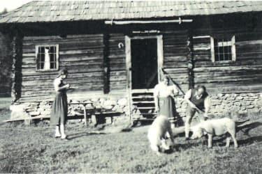 Schweine vor der Hütte