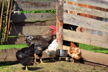 Hahn mit seinen glücklichen Hühnern