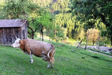 Mutterkuh auf der Weide