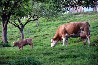 Mutterkuh mit Neugeborenem